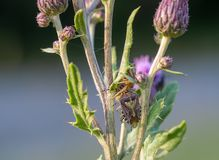 Free Xysticus Audax Has Captured A Halyomorpha Halys In A Thistle. Hunting Spider, Brown Marmorated Stink Bug. Life And Death Royalty Free Stock Image - 153673016