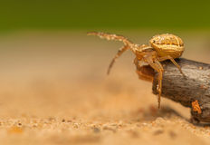 Xysticus Royalty Free Stock Image