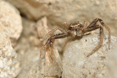Xysticus cristatus crab spider amongst stones. A male spider in the family Thomisidae, with six eyes visible whilst hunting amongst limestone Stock Image