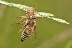 Xysticus cristatus. Spider Xysticus cristatus caught with bee,Europe Stock Photos