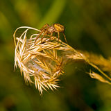 Xysticus, Ground Crab Spider. Female with probable nest. Royalty Free Stock Photos