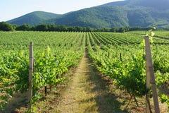 Yéndose en las filas de la distancia de viñedos en el fondo de las cuestas de montaña cerca del pueblo de Abrau-Durso, Novorossiy Imágenes de archivo libres de regalías