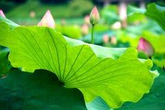Żyła lotosowy liść Zdjęcie Royalty Free