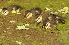 Żyłkowani kaczek kaczątka Zdjęcia Stock