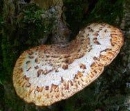 Żyłkowany grzyb na Drzewnym Brown bielu i Pstrzący Obrazy Stock