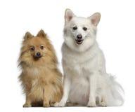 1 y 3 años del perro de Pomerania dos, sentándose uno al lado del otro Fotografía de archivo