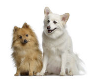 1 y 3 años del perro de Pomerania dos, sentándose uno al lado del otro Imagenes de archivo