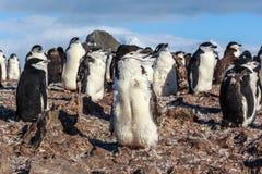 1y de oude pinguïn die van het chinstrapkuiken zich onder zijn kolonieleden bevinden Stock Afbeelding