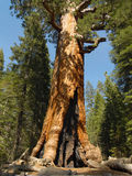 Y: Grizzly Giant. The sequoia Grizzly Giant in Yosemite's Mariposa Grove Stock Photo
