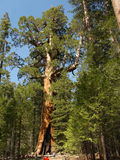 Y: Grizzly Giant, full height. The sequoia Grizzly Giant in Yosemite's Mariposa Grove at full height Stock Images
