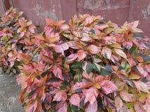 y x22; Hedgerow& x27; gold& x22 de s; flor abigarrada del follaje de otoño Fotografía de archivo