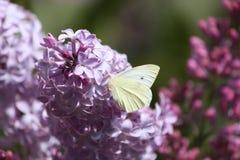 莱洛y mariposa 免版税库存图片