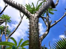 Y Shape Pointy Spiky Cactus in Blue Sky. Y Shape Pointy Spiky Cactus in Clear Blue Sky royalty free stock photography