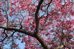Y Tak van Cherry Tree Loaded met Bloei Stock Foto