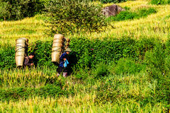 Y TY, LAOCAI,越南- 2014年9月6日-一个未认出的支持在领域的米汇集的人运载的竹篮子 免版税库存图片