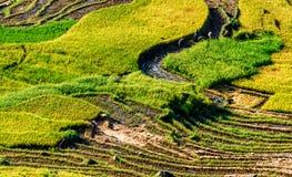 Y TY, LAOCAI, VIETNAM - 6 de septiembre de 2014 - campos colgantes del arroz de oro en el tiempo de cosecha Imagenes de archivo