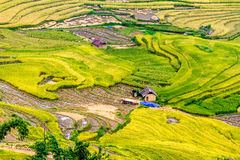 Y TY, LAOCAI, VIETNAM - 6 de septiembre de 2014 - campos colgantes del arroz de oro en el tiempo de cosecha Foto de archivo libre de regalías