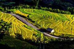 Y TY, LAOCAI, VIETNAM - 6 de septiembre de 2014 - campos colgantes del arroz de oro en el tiempo de cosecha Imagen de archivo libre de regalías