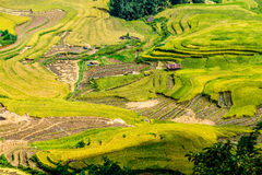 Y TY, LAOCAI, VIETNAM - SEPTEMBER 6, 2014 - Golden rice terraced fields at harvesting time Royalty Free Stock Image