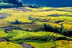 Y TY, LAOCAI, VIETNAM - SEPTEMBER 6, 2014 - Gouden rijst terrasvormige gebieden bij het oogsten van tijd Stock Afbeelding