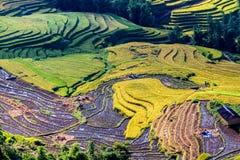 Y TY, LAOCAI, VIETNAM - SEPTEMBER 6, 2014 - Gouden rijst terrasvormige gebieden bij het oogsten van tijd Royalty-vrije Stock Foto's