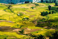 Y TY, LAOCAI, VIETNAM - SEPTEMBER 6, 2014 - Gouden rijst terrasvormige gebieden bij het oogsten van tijd Stock Fotografie