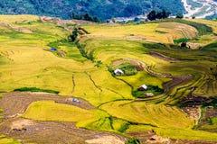 Y TY, LAOCAI, VIETNAM - SEPTEMBER 6, 2014 - Gouden rijst terrasvormige gebieden bij het oogsten van tijd Stock Foto's