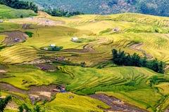 Y TY, LAOCAI, VIETNAM - SEPTEMBER 6, 2014 - Gouden rijst terrasvormige gebieden bij het oogsten van tijd Stock Afbeeldingen