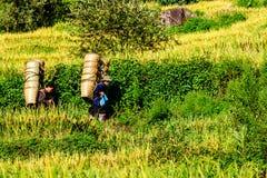 Y TY, LAOCAI, VIETNAM - SEPTEMBER 6, 2014 - manden van een de niet geïdentificeerde mensen dragende bamboe om rijstinzameling op  Royalty-vrije Stock Afbeeldingen