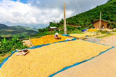 Y TY, LAOCAI, VIETNAM - SEPTEMBER 7, 2014 - An unidentified man drying corns on a shiny day. stock photo