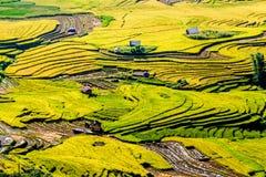 Y TY, LAOCAI, VIETNAM - 6 settembre 2014 - giacimenti a terrazze del riso dorato a tempo di raccolta Immagine Stock Libera da Diritti