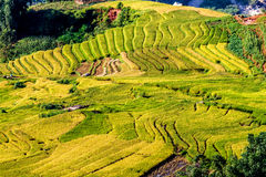 Y TY, LAOCAI, VIETNAME - 6 de setembro de 2014 - campos terraced do arroz dourado no tempo de colheita Fotografia de Stock Royalty Free