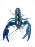 Yabby azul de agua dulce australiano Yabbie Fotos de archivo