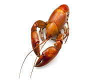 Yabby or Freshwater Lobster Royalty Free Stock Photo