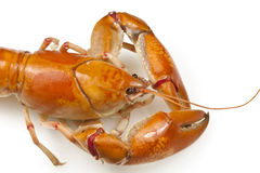 Yabby or Freshwater Lobster Stock Photography