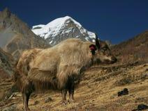 Yac in Nepal. Annapurna circuit trekking Stock Photo