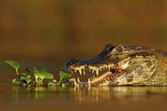 Yacare凯门鳄在水厂中,与开放枪口,潘塔纳尔湿地,巴西的鳄鱼画象  库存图片