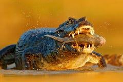 Yacare凯门鳄,与比拉鱼鱼的鳄鱼在有大牙的开放枪口,潘塔纳尔湿地,巴西 危险爬行动物细节画象  美洲黑杜鹃 免版税库存图片