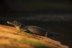Yacare凯门鳄,在海滩的鳄鱼与晚上太阳,潘塔纳尔湿地,巴西 库存图片