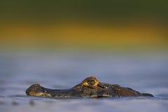 Yacare凯门鳄,鳄鱼暗藏的画象在大海表面的与晚上太阳,潘塔纳尔湿地,巴西 免版税库存图片