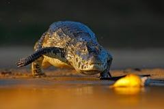 Yacare凯门鳄,鳄鱼狩猎与晚上太阳的鱼比拉鱼在河,潘塔纳尔湿地,玻利维亚 图库摄影