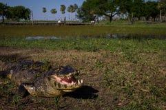 Yacare Caiman, κροκόδειλος σε Pantanal, Παραγουάη Στοκ Φωτογραφία