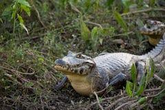 Yacare Caiman in the Brazil Pantanal Royalty Free Stock Photos