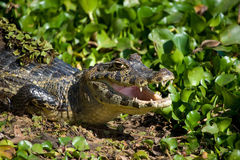 Yacare Caiman in the Brazil Pantanal Stock Image