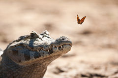 Yacare Caiman and butterfly. A butterfly about to alight on a Yacare Caiman in the Pantanal, Brazil to sip minerals and salts from the skin royalty free stock photography