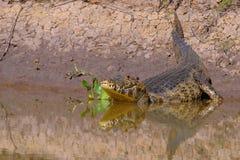 Yacare Caiman, Caiman Crocodilus Yacare Jacare, Cuiaba river, Pantanal, Porto Jofre, Mato Grosso, Brazil. South America stock photo