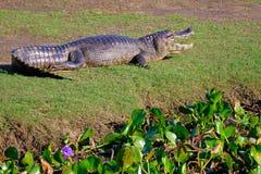 Yacare Caiman, Caiman Crocodilus Yacare Jacare, in the grassland of Pantanal wetland, Corumba, Mato Grosso Sul, Brazil. Yacare Caiman, Caiman Crocodilus Yacare stock photography