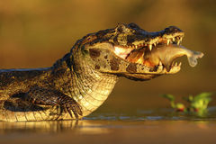 Yacare Caiman, crocodile with fish in with evening sun, Pantanal, Brazil. Yacare Caiman, crocodile with fish in with evening sun, Pantanal Stock Photo