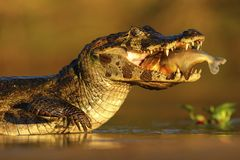 Yacare Caiman, crocodile with fish in with evening sun, Pantanal, Brazil royalty free stock images