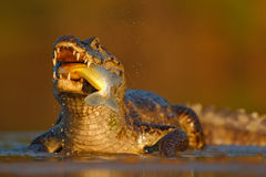 Yacare Caiman, crocodile with fish with evening sun in the river, Pantanal, Brazil Royalty Free Stock Photo